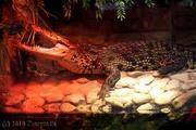 Крокодилы: нильские и кайманы