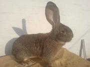 Продам молодняк кроликов породы Бельгийский великан (Обр, Ризен, Фландр)