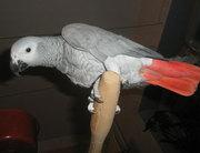 Самый Умный попугай Жако Алохвостый