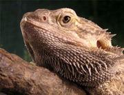 Бородатая АГАМА– великолепные ящерицы