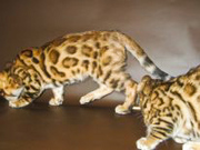 Бенгальские   котята , .......