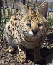 Сервал,  каракал,  оцелот – экзотические ручные котята