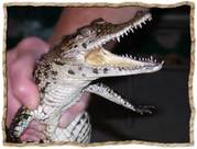 Нильские крокодилы (малыши) размер 35-40 см