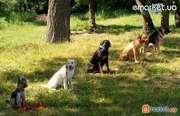 Дрессировка собак индивидуально и в группах