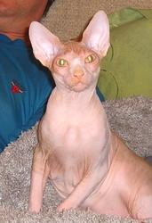 Котята канадского сфинкса. Питомник. Разные окрасы.