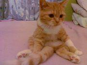 продаются  прямоухие шотландские котята