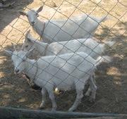 козы молочные зааненской породы