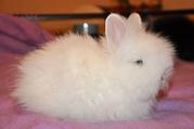 Крольчата ангорские белого и черного цвета