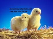 Продам суточных и подрощенных цыплят бройлеров Кобб-500!