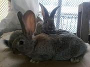 Крупные племенные кролики