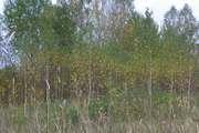 Саженцы березы,  дуба красного,  клена,  липы,  черемухи,  ели,  сосны,  барбариса,  боярышника,  терна. Недорого