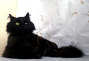 Марципан – котик-лицедій,  9 місяців,  покастрований