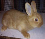 Племенные кролики -самцы