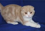 Шотландский вислоухий кремовый мраморный клубный котенок