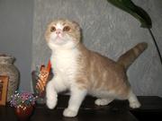 Шотландский вислоухий котенок из питомника
