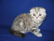 Шотландский вислоухий котенок (девочка)