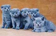 Продам британских котят недорого Киев,  вислоухие котята купить Киев