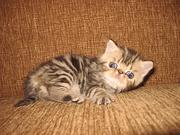 Огромный выбор котят породы экзотическая короткошерстная и персидская