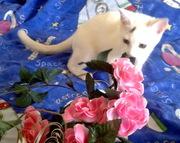 Котенок ищет самых лучших хозяев! Бесплатно. Метис Абиссинской кошки.