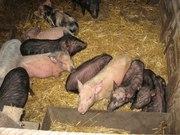 продам мясо и животных (свинина-баранина)