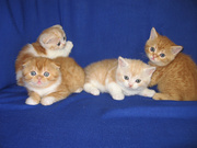 Шотландские вислоухие и прямоухие котята ,  резервирование