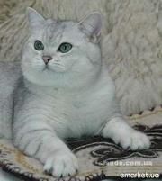 Британский кот окраса серебристая шиншилла ns-11.