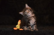 Котята мейн кун от питомника