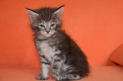 Крупные котята мейн кун