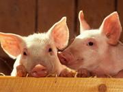 Продаем подрощенных поросят, лешки, кабанчики и свиноматки