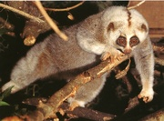 Продам Большой толстый лори (Nycticebus coucang) — зверёк из отряда пр