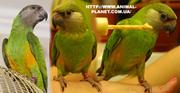 Продаются ручные Сенегальские попугаи для желающих стать владельцем эк