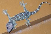 Ручные гекконы Токи,  Фельзумы,  Реснитчатые - малыши и подростки