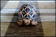 Сухопутная звездчатая черепаха 10-11 см - продам звездчатых черепах