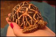 Продам ручных звездчатых черепах размером 10-11 см по панцирю