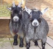 Мини овцы,  карликовые антилопы,  карликовые коровы,  лани