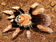 Яркий паук птицеед Брахипелма Смитти
