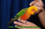 Абсолютно ручные попугаи – птенцы Сенегала и Аратинги. Лучшее предложе