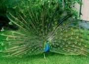 Продам павлинов,  голубей,  фазанов,  уток