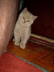 Британский лиловый котенок -  мальчик
