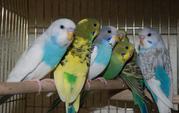 Черноклювые волнистые попугайчики - ручные птенцы