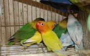 Эксклюзивные уникальные неразлучники - ручные птенцы и пары