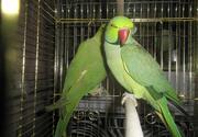 Эксклюзивные Ожереловые попугаи,  малый кольчатый попугай,  ручные птенц