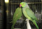 Эксклюзивные Ожереловые попугаи,  малый кольчатый попугай