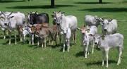 Карликовые мини коровы Зебу - экотика и новинка на Вашем дворе