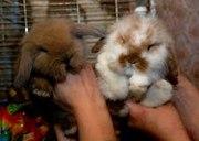 Кролики карликовые и декоративные – источник нежности и теплоты