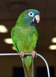 Острохвостые аратинги- ручные птенцы для обучения