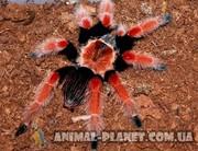 Паук Птицеед,  пауки для новичков и профессионалов