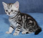 Питомник предлагает британского котенка окраса вискас