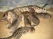 Бенгальские котята и кошки шоу класса разных окрасок  воспитанные