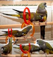 Патагонский попугай или Скалистый попугай ручные птенцы